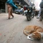 Dog sleeping on roadside, delhi, india — Stock Photo