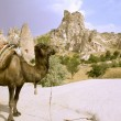 Camel in turkey - Stock Photo