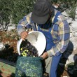 Olive picker - Stock Photo