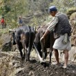 Stok fotoğraf: Old man ploughing his field in nepal