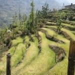 pirinç çeltik tarlaları Himalaya Hills, nepal — Stok fotoğraf