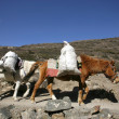Stock Photo: Donkeys carrying heavy loads, annapurna, nepal