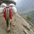 Stock Photo: Donkey carrying heavy loads, annapurna, nepal