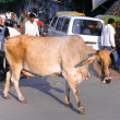 Stock Photo: Cow in india