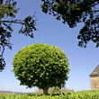 Box-tree bush shaped in a sphere, marqueyssac, france — Stock Photo