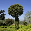 Round tree bush in landscaped gardens, marqueyssac, — Stock Photo