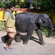Baby elephant and man walking home from bath — Stock Photo #8048869
