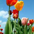 Tulip petals in the sky - Stock Photo