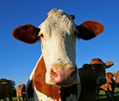 Funny eared cow — Stock Photo