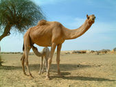 Baby camel feeding on mother camel in the desert in india — Stock Photo