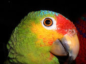 Close up portrait of colourful parrot in jungle in Guatemala. — Stock Photo