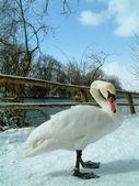 Swan gazing at ground — Stock Photo
