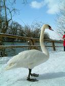 Pose elegante cisne — Foto de Stock