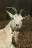 A male goat looking proud and inquisitive — Stock Photo