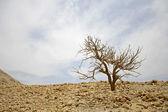 Kale boom in woestijn landschap in de dode zeeregio — Stockfoto