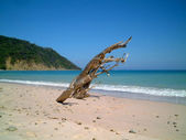 Dead tree trunk on desert beach, montezuma, costa rica — Stock Photo