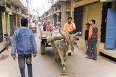Vache sur la rue et les hommes — Photo