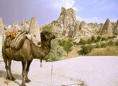 Kamel in der türkei — Stockfoto