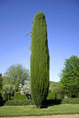 Cypress tree in the gardens of eyrignac, france — Stock Photo