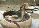 King cobra coming out, rishikesh, india — Stock Photo