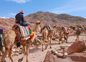 Camel guide — Stock Photo