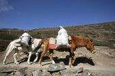 Donkeys carrying heavy loads, annapurna, nepal — Stock Photo
