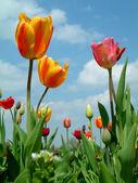 Tulips in the sky — Stock Photo