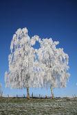 Frozen trees — Stock Photo