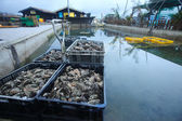Oyster farm — Stock Photo