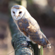 Owl perched waiting to get some food — ストック写真 #8275667