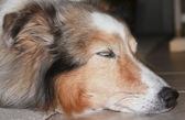 A Beautiful Sable Merle Sheltie Sleeping on the Floor — Stock Photo