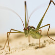 A Close Up View of a Katydid — Stock Photo
