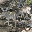 A Pair of Fawns Drink from a Creek — Stock Photo