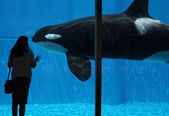 A Woman Watches an Orca Through Glass — Stock Photo