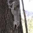 A Gray Squirrel Clings to a Tree — Stock Photo