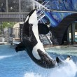 Stock Photo: Killer Whale Performs in Oceanarium Show
