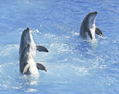 A Bottlenosed Dolphin Trio Spyhop in Blue Water — Stock Photo
