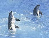 Um golfinho avistará trio spyhop na água azul — Foto Stock
