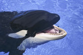 A Close Up of a Killer Whale's Mouth — Stock Photo