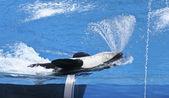 Een orka spuit water uit haar mond — Stockfoto