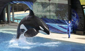 A Killer Whale and Trainer Perform in an Oceanarium Show — Stock Photo