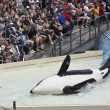 A Beached Killer Whale and Trainer Perform in an Oceanarium Show — Zdjęcie stockowe