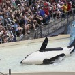 A Beached Killer Whale and Trainer Perform in an Oceanarium Show — Foto de Stock
