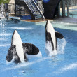 Stock Photo: Killer Whale Pair Perform in Oceanarium Show