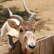 Stock Photo: Addax, also known as screwhorn antelope