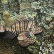 A Venomous Lionfish, Pterois, With Its Spiky Fins — Stock Photo