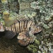 Stock Photo: Venomous Lionfish, Pterois, With Its Spiky Fins