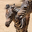 Royalty-Free Stock Photo: A Baby Zebra Stands with His Mother