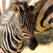 A Baby Zebra Stands with His Mother — Stock Photo