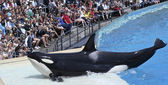 Katil balina kendisi oceanarium gösterisinde plajlar — Stockfoto